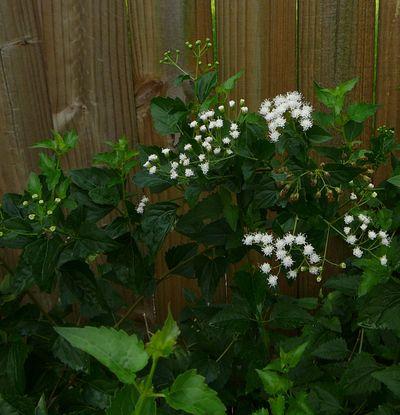 WhiteMistflower