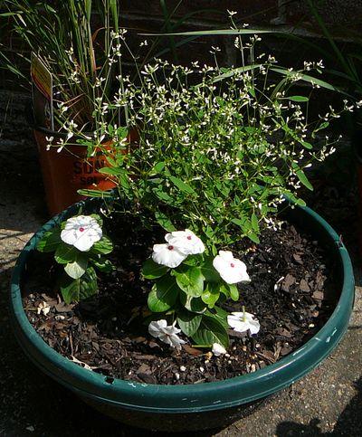 EuphorbiaVinca